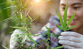 Cannabis Cultivation and Processing